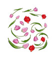 hand drawn set of tulip flower elements bud vector image