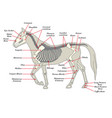 skeleton of a horse with the different bones vector image