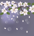 cherry flowers card with waterdrops background for vector image vector image
