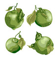set with lime fruit of round shape with leaves on vector image