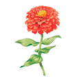 beautiful red flower zinnia isolated on white vector image