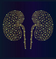 abstract kidney anatomy of the kidney vector image vector image