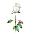 single white rose isolated on white background vector image vector image