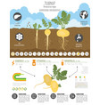 turnip beneficial features graphic template vector image vector image