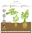 celery beneficial features graphic template vector image vector image