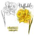 botanical art watercolor daffodil flower vector image