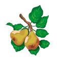 branch of a ripe pears vector image