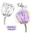 botanical art watercolor tulip flower vector image