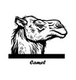 peeking camel - funny camel out - face vector image vector image