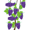 grapevine on white background is insulated vector image vector image