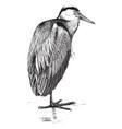 common heron vintage vector image vector image