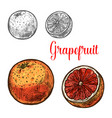 grapefruit sketch of ripe tropical citrus fruit vector image