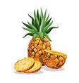 pineapple fruit fresh harvest vector image vector image