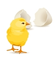 small yellow chicken vector image vector image