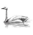 bewick swan vintage vector image vector image