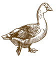engraving of big goose vector image vector image