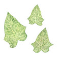 set hand drawn watercolor ivy leaves isolated vector image
