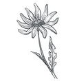 chamomile flower monochrome sketch outline vector image