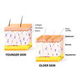 Collagen and elastin vector image vector image
