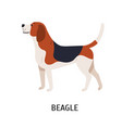 english beagle lovely hunting dog or scenthound vector image vector image