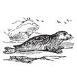 marbled seal vintage vector image vector image