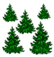 the set of stages of growing spruce or christmas vector image