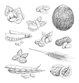 Nuts beans seeds and wheat sketches vector image vector image