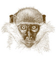 engraving of green monkey muzzle vector image