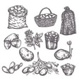 hand drawn sketch potato vegetable vintage vector image