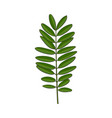 beautiful elegant hand drawn senna twig branch vector image vector image