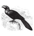 smooth billed ani vintage vector image vector image