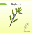 bayberry myrica cerifera medicinal plant vector image vector image