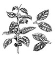 hand drawn set of coffee plant leaves and twig vector image vector image