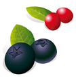 Blueberry and Cranberry vector image vector image